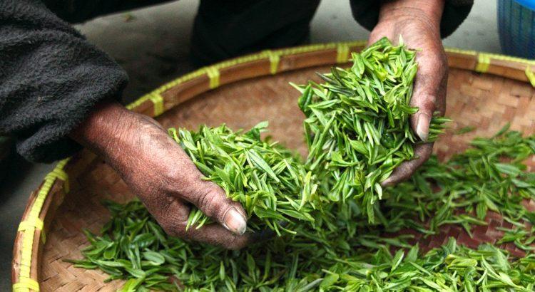 6 Sencha Tea Benefits That You Shouldn T Ignore